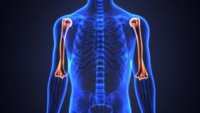 Illustration 3d der skeleton Humerusknochenanatomie Stockfotos
