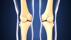 Illustration 3d der skeleton Knieknochenanatomie Lizenzfreies Stockbild