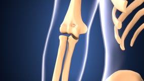 Illustration 3d der skeleton Knieknochenanatomie Stockfotos