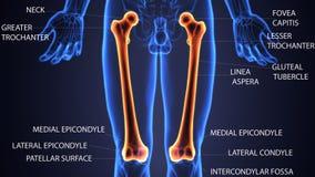 Illustration 3d der skeleton Schenkelbeinknochenanatomie Lizenzfreies Stockfoto
