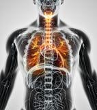 illustration 3D des bronches de trachée de larynx Photo stock