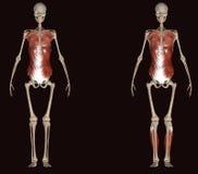 illustration 3d des muscles de corps humain Image libre de droits