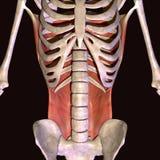 illustration 3d des muscles de hanche de corps humain illustration libre de droits