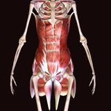 illustration 3d des muscles de hanche de corps humain Photo stock
