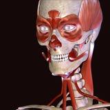 illustration 3d des muscles de visage de corps humain Photos stock