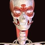 illustration 3d des muscles de visage de corps humain Images libres de droits