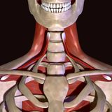 illustration 3d des muscles squelettiques humains Photo stock