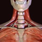 illustration 3d des muscles squelettiques humains Image stock