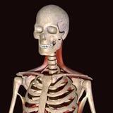 illustration 3d des muscles squelettiques humains Photos libres de droits