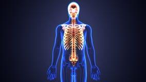 Illustration 3d des Rückenmarks und der Rippen ein Teil des menschlichen Skeleton Systems Lizenzfreie Stockfotografie