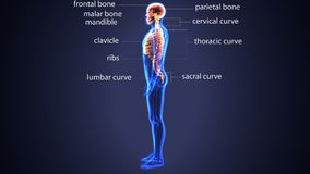 Illustration 3d des Rückenmarks und der Rippen ein Teil des menschlichen Skeleton Systems Stockfoto