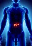 illustration 3D du pancréas - une partie d'appareil digestif Image stock