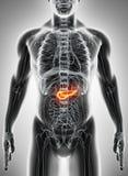 illustration 3D du pancréas - une partie d'appareil digestif Photos libres de droits