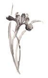 Illustration d'encre de fleur de floraison d'iris Style de Sumi-e Photographie stock libre de droits