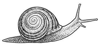 Illustration d'escargot de jardin, dessin, gravure, encre, schéma, vecteur illustration libre de droits