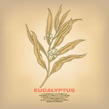 Illustration d'eucalyptus médical d'herbes Photo stock
