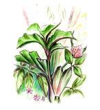 Illustration d'herbes Image stock