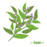 Illustration d'herbes avec la sauge mignonne Photographie stock libre de droits