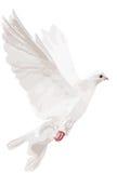 Illustration d'isolement blanche de colombe Photographie stock libre de droits