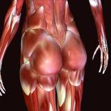 Illustration 3d von Hüften des menschlichen Körpers lizenzfreie abbildung
