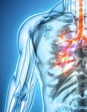 Illustration 3D von Kehlkopf-Trachea-Bronchien Stockbilder
