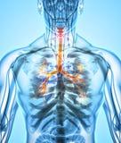 Illustration 3D von Kehlkopf-Trachea-Bronchien Stockbild