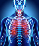 Illustration 3D von Kehlkopf-Trachea-Bronchien Lizenzfreie Stockfotografie