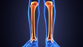 Illustration 3D von menschlichen Skeleton Schienbein-und Wadenbein-Knochen stock abbildung