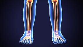 Illustration 3D von menschlichen Skeleton Schienbein-und Wadenbein-Knochen vektor abbildung