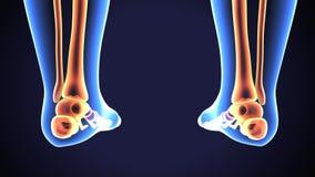 Illustration 3D von menschlichen Skeleton Schienbein-und Wadenbein-Knochen lizenzfreie abbildung