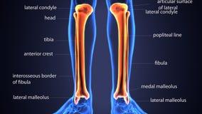 Illustration 3d von skeletion Schienbein und Wadenbein entbeinen Anatomie lizenzfreie abbildung