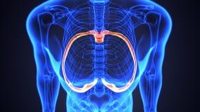 Illustration 3d von skeleton spinalen Knochenteilen Lizenzfreie Stockbilder