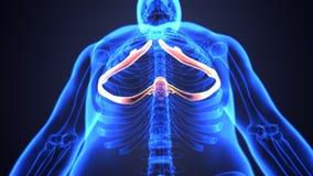 Illustration 3d von skeleton spinalen Knochenteilen Stockbild
