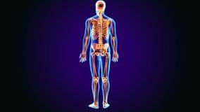 Illustration 3d von Skelettanatomie des menschlichen Körpers vektor abbildung