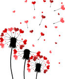 Three dandelions and red heart shape seeds Royalty Free Stock Photos