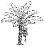 Illustration de bananier, dessin, gravure, encre, schéma, vecteur illustration stock