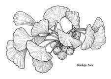 Illustration de biloba de Ginkgo, dessin, gravure, encre, schéma, vecteur illustration de vecteur