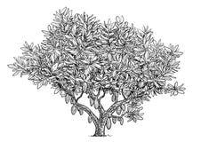 Illustration de cacaoyer, dessin, gravure, encre, schéma, vecteur illustration de vecteur