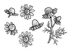 Illustration de camomille, dessin, gravure, encre, schéma, vecteur illustration stock