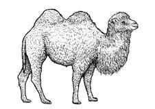 Illustration de chameau Bactrian, dessin, gravure, encre, schéma, vecteur illustration libre de droits