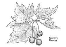 Illustration de collection de branche d'arbre, dessin, gravure, encre, schéma, vectorSycamore, illustration d'arbre plat, dessin, illustration stock