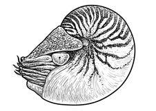 Illustration de collection d'animaux marins, dessin, gravure, encre, schéma, illustration de coquille de vectorNautilus, dessin,  illustration stock