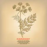 Illustration de cumin médical d'herbes illustration stock