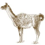 Illustration de dessin gravure à l'eau-forte de lama Image stock
