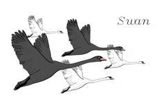Illustration de dessiner les cygnes noirs de vol Tiré par la main, conception graphique de griffonnage avec des oiseaux objet d'i Photographie stock
