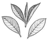 Illustration de feuille de thé, dessin, gravure, encre, schéma, vecteur illustration libre de droits