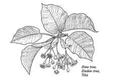 Illustration de fleur et de feuille d'arbre de tilleul, dessin, gravure, encre, schéma, vecteur illustration de vecteur