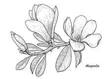 Illustration de fleur de magnolia, dessin, gravure, encre, schéma, vecteur illustration de vecteur