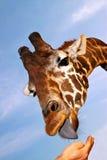 Illustration de giraffe alimentante Image libre de droits