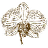 Illustration de gravure de phalaenopsis Images stock